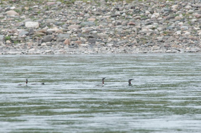 Loons - Great Bear Lake, NWT