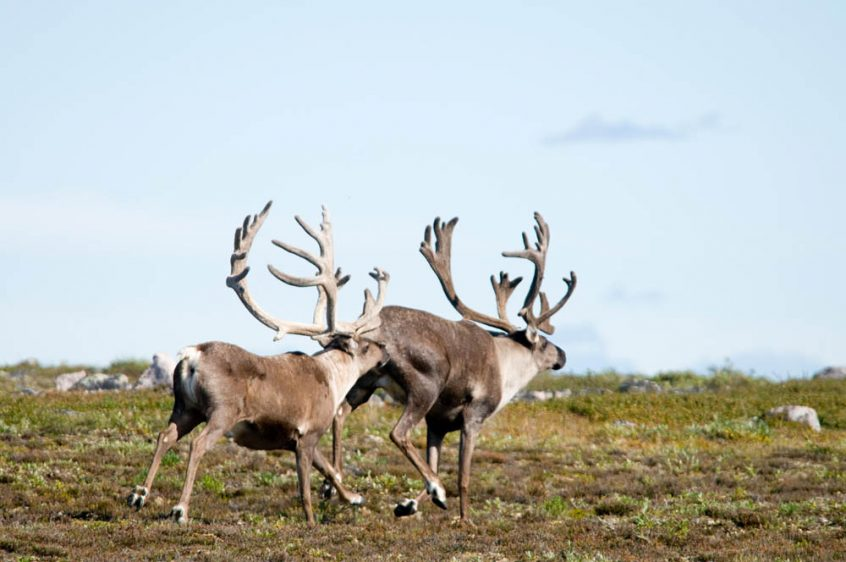 Caribou in Northwest Territories, Canada