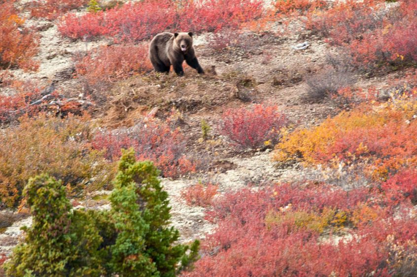 Bears - Wildlife at Plummer's Arctic Lodges