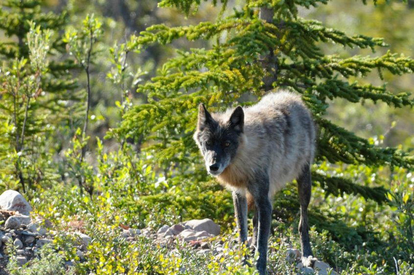 Wolf - Wildlife at Plummer's Arctic Lodges