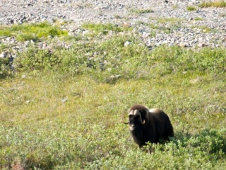 Arctic Musk Ox - Wildlife at Plummer's Lodges, Canada