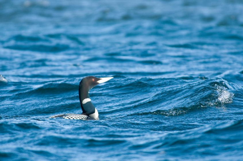 Arctic Loon - Wildlife at Plummer's , Northwest Territories