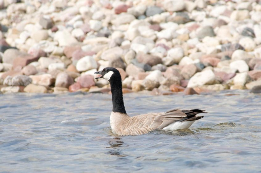 Canada Goose at Plummer's Lodge, Northwest Territories