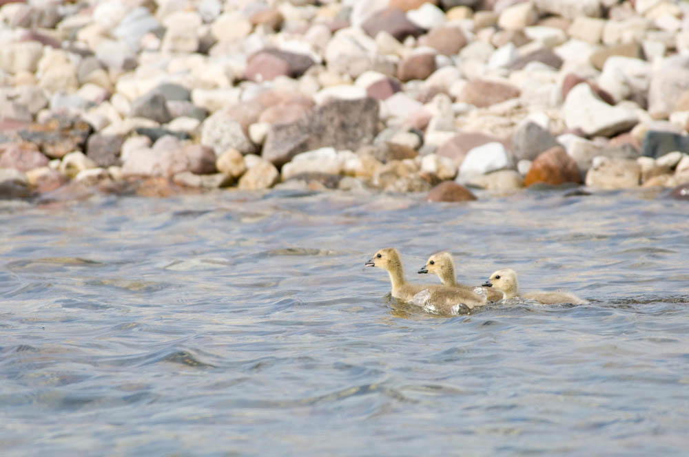 Goslings at Plummer's Lodge on Great Bear Lake