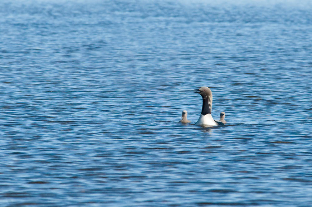 Birds at Plummer's Arctic Lodges on Great Slave Lake