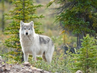 Wolf at Plummer's Arctic Lodges in Canada's arctic