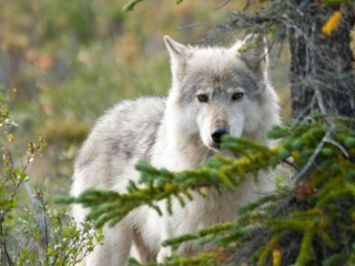 Wolf at Plummer's Arctic Lodges in the Northwest Territories