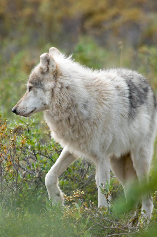 Wolf in the Northwest Territories