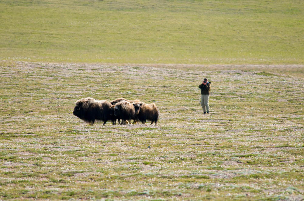 Musk ox herds in Northwest Territories, Canada