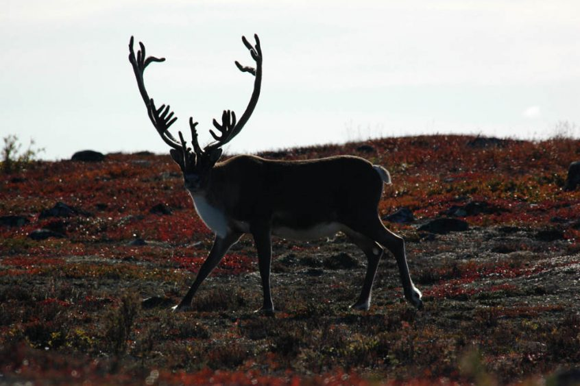 Caribou at Great Slave Lake in northern Canada