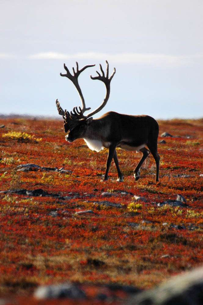Caribou at Great Bear Lake by Plummer's Lodges