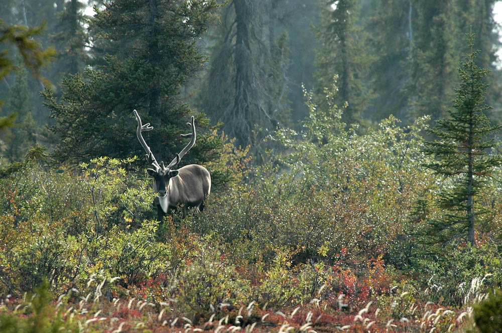 Caribou in the wild in Canada's Arctic summer