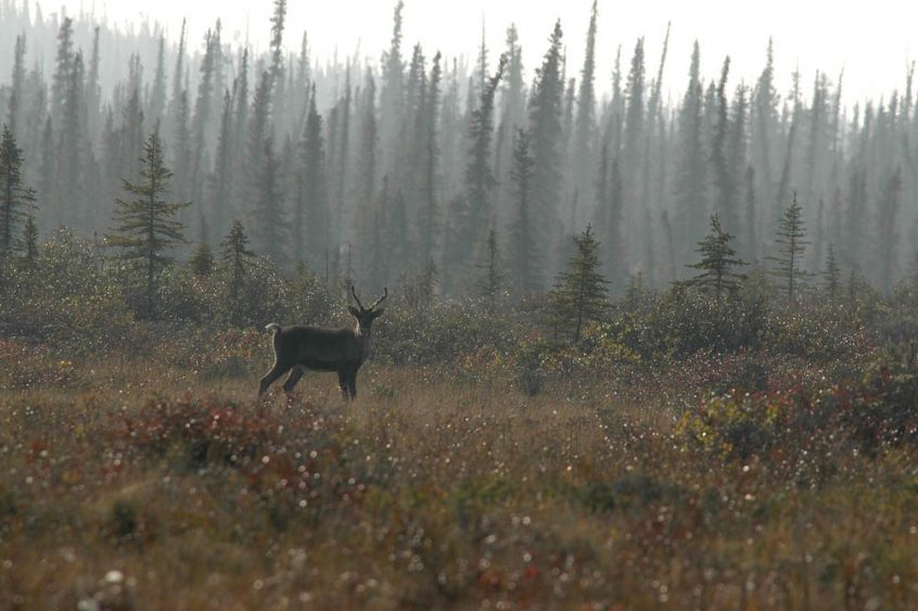 Caribou in the wild in next to treeline