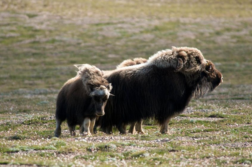 Musk ox herds - Great Bear Lake, NWT
