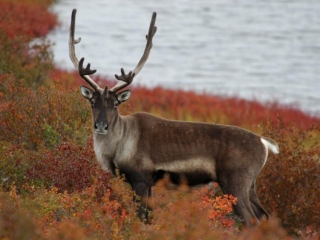 Caribou in the Northwest Territories