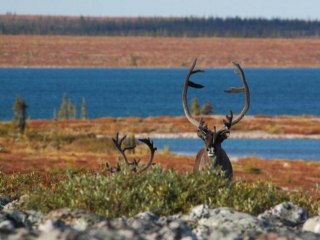 Caribou in the Northwest Territories near the lake