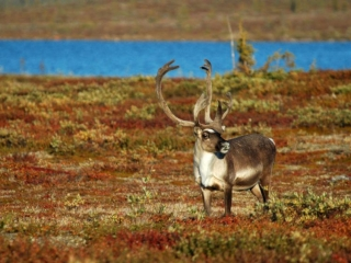Caribou in the arctic near the lake