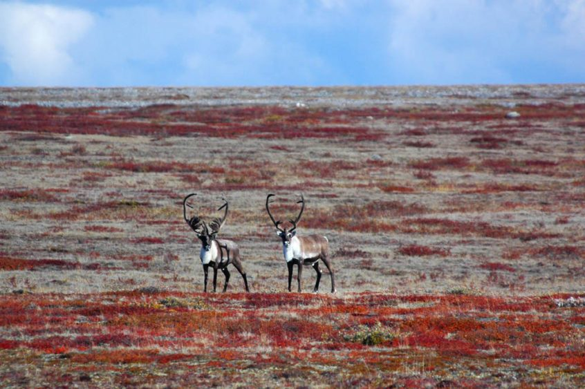 Caribou in the arctic on the summer tundra