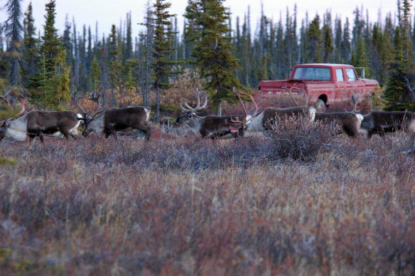 Caribou herds in the arctic tundra
