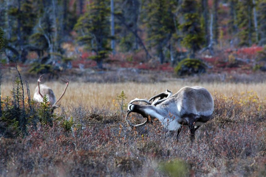 Caribou bending backwards
