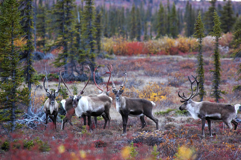 Caribou herds near Plummer's Lodge in Canada's Arctic