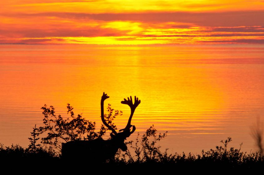 Caribou silhouette at sunset - Plummer's Arctic Lodges