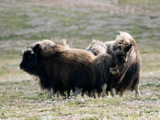 Musk ox herds - Plummer's Arctic Lodges Canada