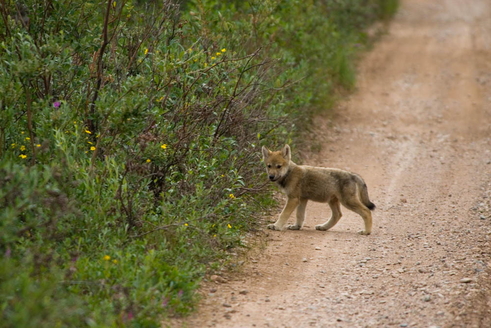 Baby wolf - Great Bear Lake, NWT