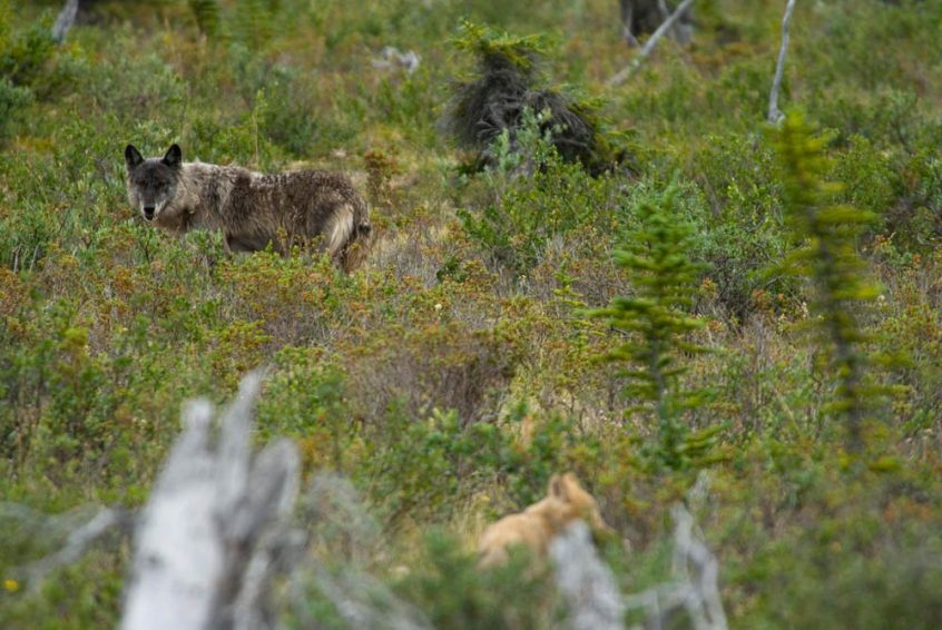 Wolves at Great Slave Lake, Plummer's Lodge