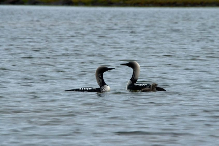 Loons at Great Slave Lake, Plummer's Lodge