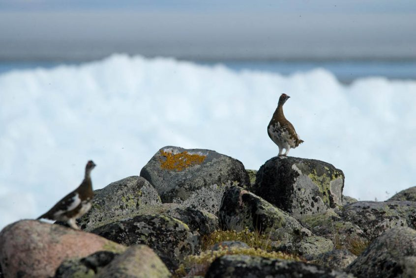 Birds at Great Slave Lake, Plummer's Arctic Lodge