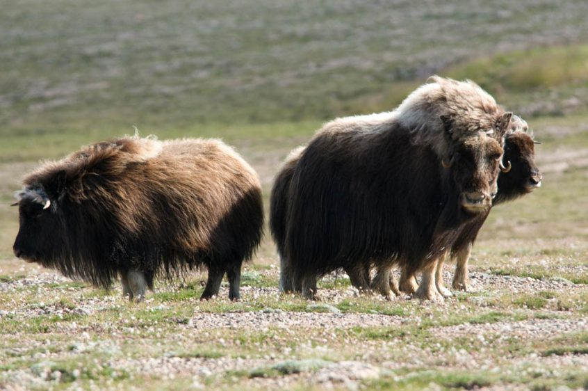Musk ox herds  - Arctic wildlife