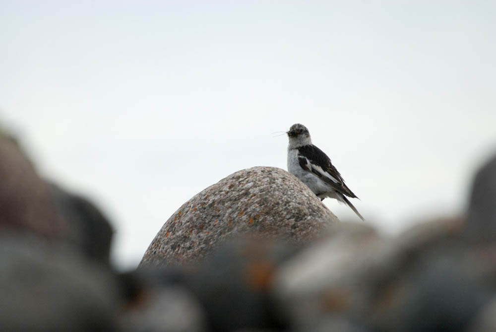 Bird wildlife at Great Bear Lake, Plummer's Arctic Lodge