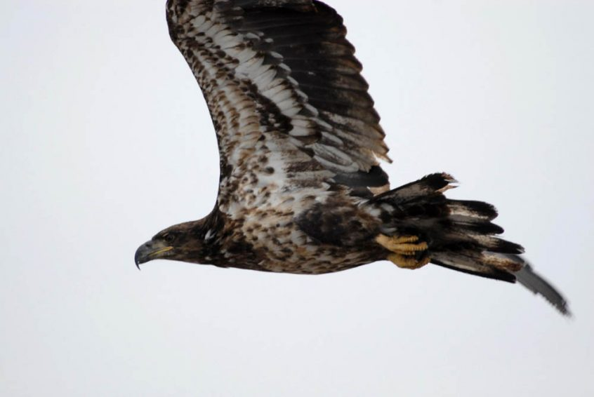 Hawk flying - Plummers Arctic Lodges