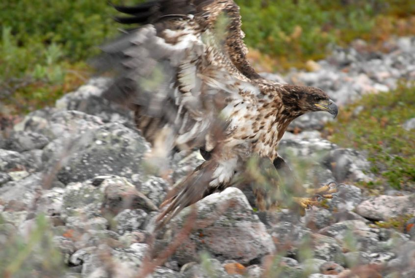 Hawk - Great Bear Lake, NWT
