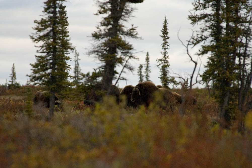 Group of musk ox - Northwest Territories