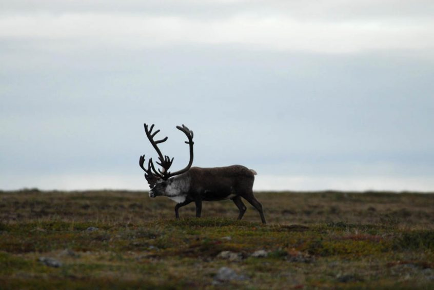Caribou - Great Bear Lake, NWT, Canada