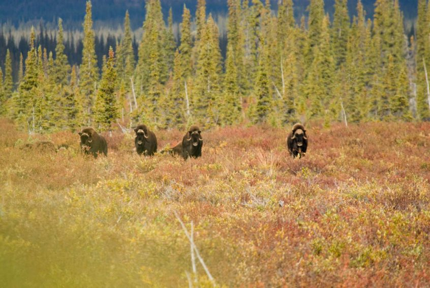 Group of musk ox near treeline