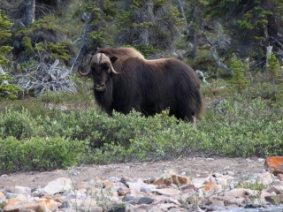 Musk ox in the Northwest Territories