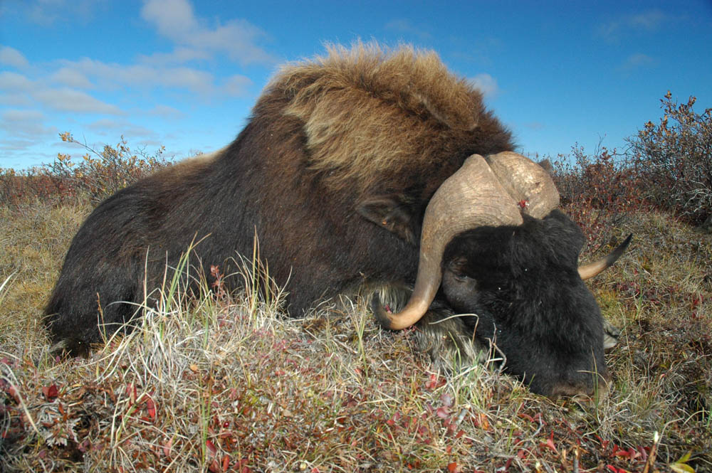 Musk ox hunting in the Northwest Territories