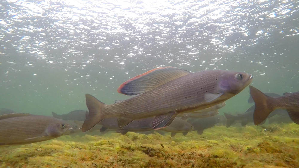 Arctic Grayling at Plummer's Arctic Lodges