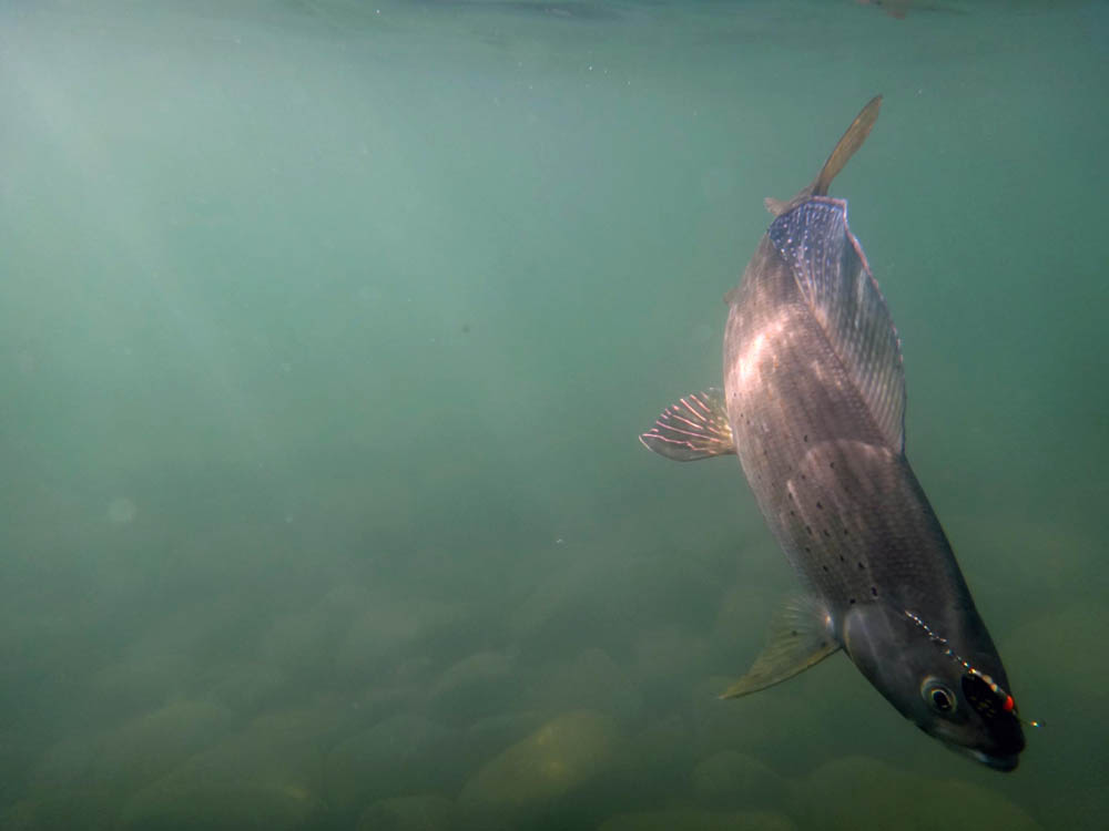 Arctic Grayling photographed under water